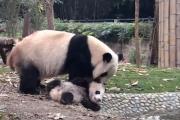 Маленькая панда не хочет купаться: видео