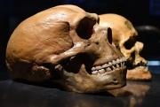 Гены неандертальцев до сих пор живы в современном человеке