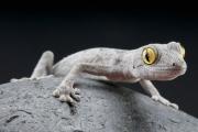 Массовое вымирание пошло гекконам на пользу