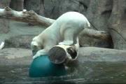 Белая медведица резвится с мячом: видео
