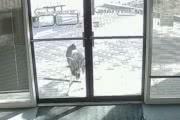 Козел разбил стеклянную офисную дверь. Почему?