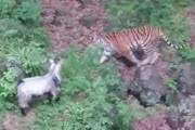 В Приморском сафари-парке завязалась новая дружба между тигрицей и козлом