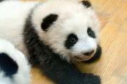 36 крохотных панд одновременно вышли в свет в китайском зоопарке: видео