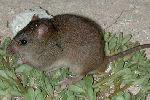 Австралийский грызун стал первой жертвой изменения климата